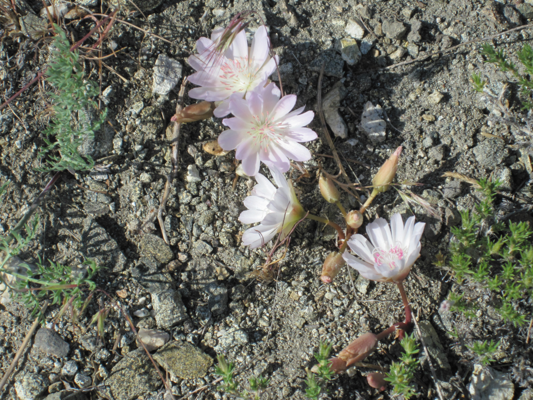 bitterroot flowers