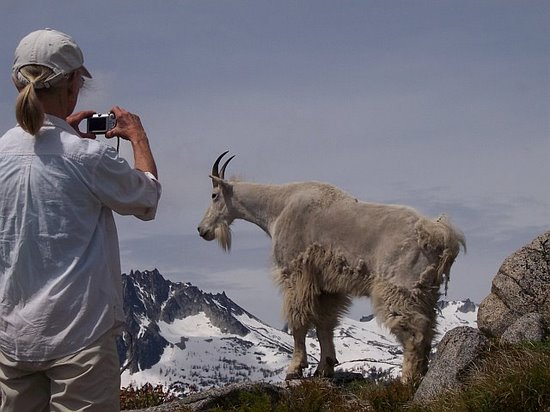 goat-wedgemtn1