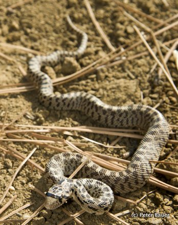 Snake Identification and Snake Myths   Wenatchee Outdoors